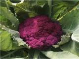 紫色花菜种子 紫花菜种子 花菜种子 紫色蔬菜种子