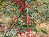 1年新品种大红袍花椒苗 批发价格0.6元
