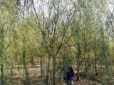 18公分垂柳树价钱报价多少钱