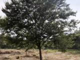 18公分红榉树价钱报价参考