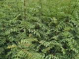 大红袍花椒苗种植 亩产量多少斤? 亩栽多少棵?