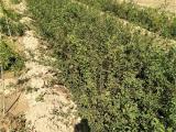 药用连翘苗基地 连翘苗亩栽100-120棵 提供种植技术