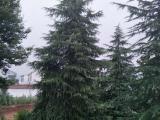 保山 雪松树供应商绿化工程用苗