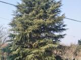 山南地区4米雪松价格哪里有大量供应绿化苗木