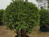 火山榕球蓬径1米-1米2 ,多年移栽绿植火山榕球