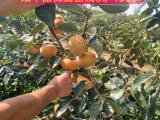 阳丰甜柿苗种植季节=阳丰甜柿苗亩栽多少棵