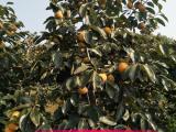 山西阳丰甜柿苗种植基地