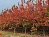 广东江门20公分美国红枫的价格供应商采购信息