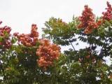 云南红河州15公分栾树价格价格查询批发零售