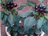 紫簇星观赏椒种子 矮生盆栽小辣椒 朝天椒紫色小辣椒种子四季播
