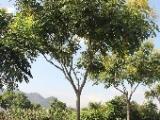浙江温州18公分栾树价格价格查询质优价廉