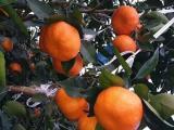 明日见柑橘枝条什么时候嫁接好