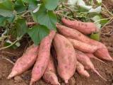 基地直供鲜红薯/地瓜/天然绿色红薯