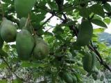 香蜜果种苗 八月瓜种苗