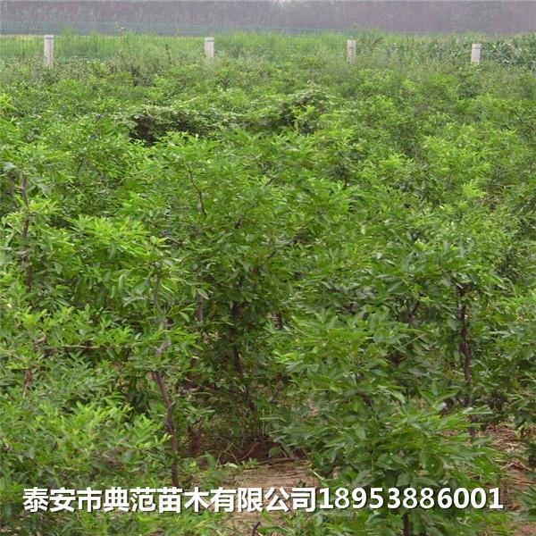 采摘园枣树苗多少钱一棵 采摘园枣树苗品种介绍