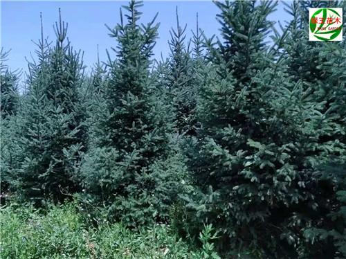 云杉樹苗產地-云杉苗木價格