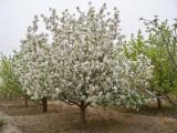 8cm八棱海棠树价格