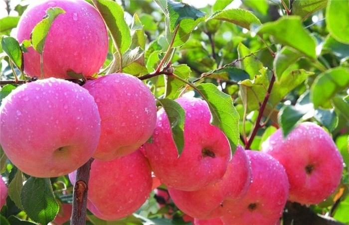 苹果采摘 苹果采摘时间 河北美邦(优质商家)