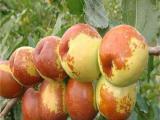 专注冬枣树苗基地价格代办一手货源