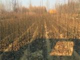 2公分早红考密斯梨树苗多少钱 早红考密斯梨树苗价格