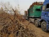 根系发达枣树苗基地种植时间