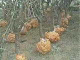 全年供应枣树苗苗圃基地直销