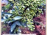 藤椒苗种植方法,青花椒苗种植方法,藤椒苗技术