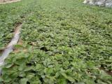 章姬草莓苗批发,章姬草莓苗价格