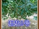 优质夏威夷果澳洲坚果树苗桂热一号广西国澳公司供应价格在此