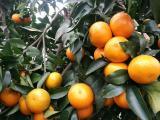 无核沃柑苗长势比普通沃柑苗强 091无核沃柑香橙嫁接苗