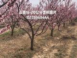 供应粗度10-12公分杏树·粗度15公分杏树价格