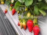 巧克力草莓苗价格、巧克力草莓苗多少钱一棵