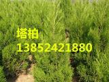 苗圃优质塔柏-3米塔柏50元-规格齐全-价格批发