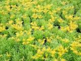 出售宿根花卉,宿根花卉报价,哪里有卖宿根花卉