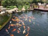 你知道吗?景观鱼池不换水也可以保持常年清澈