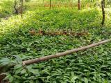 供应尤溪倒吊黄根苗|观音串种苗|黄花远志