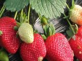 草莓苗 草莓起垄栽植 温室大棚草莓苗 硬果草莓苗