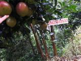 大果红花油茶营养袋苗