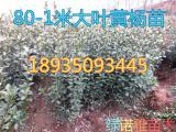 冬青苗产地=50公分60公分70公分80公分冬青苗批发价格