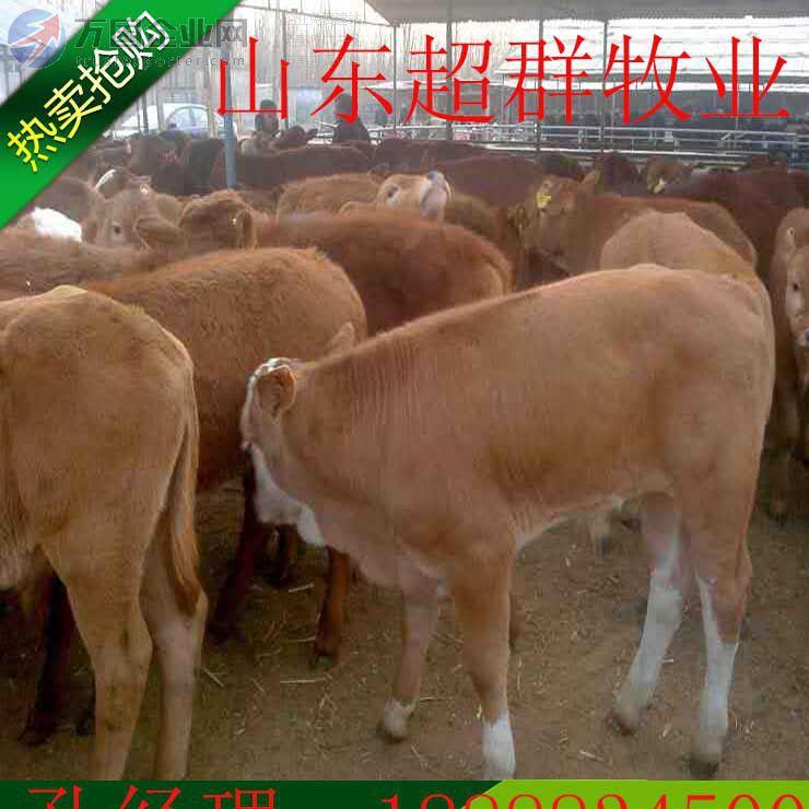 超群特种养殖场出售一批肉牛犊 西门塔尔牛 肉牛养殖场