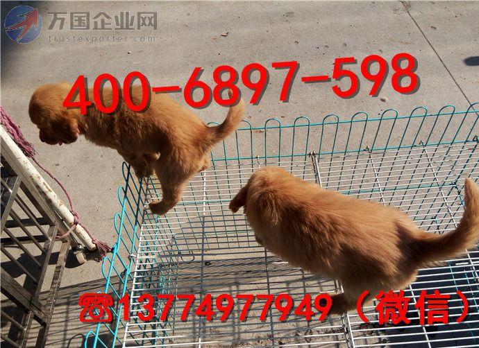 宠物养殖基地出售金毛犬幼犬 已做完 工作犬
