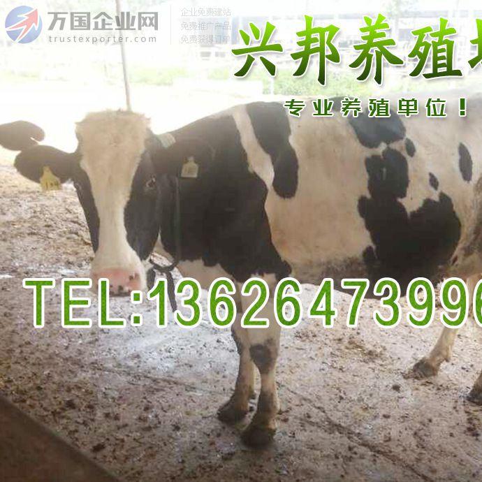 中国荷斯坦奶牛黑白花奶牛产奶量高 高产奶牛/黑白花奶牛