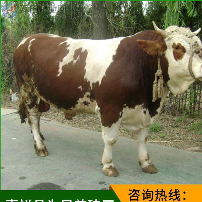生长速度快的肉牛品种 西门塔尔牛