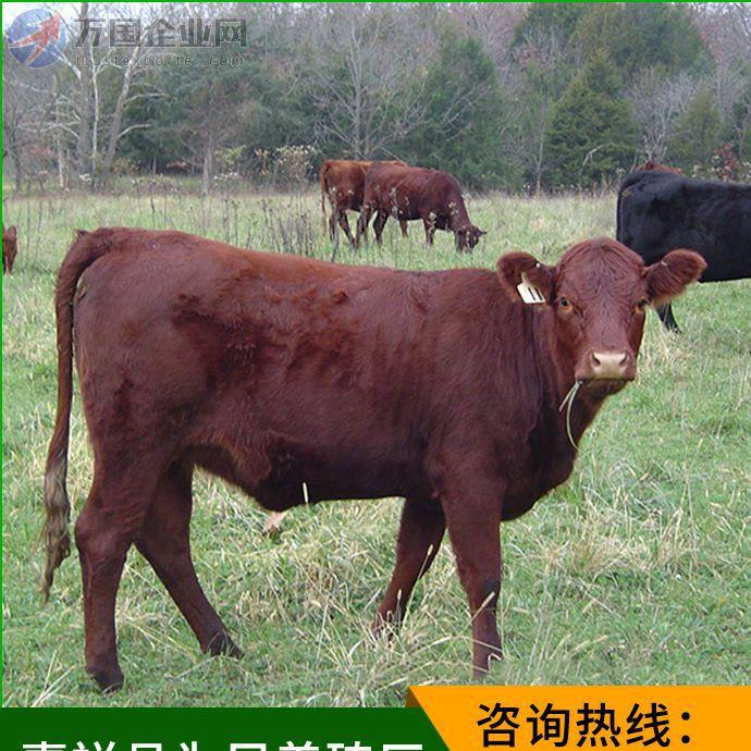 山东利木赞牛肉牛养殖