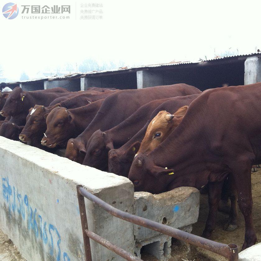 买利木赞牛到正规肉牛养殖场 精诚养殖 母,公