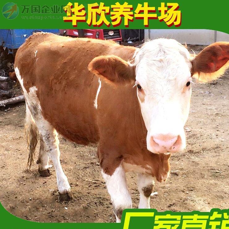 养殖场繁殖育肥鲁西黄牛肉牛西门塔尔牛牛苗肉牛出售批发