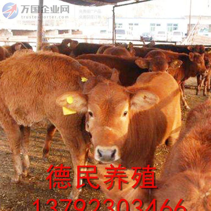 湖南肉牛犊养殖场鲁西黄牛价格 德民牧业 德民养殖场 母,公