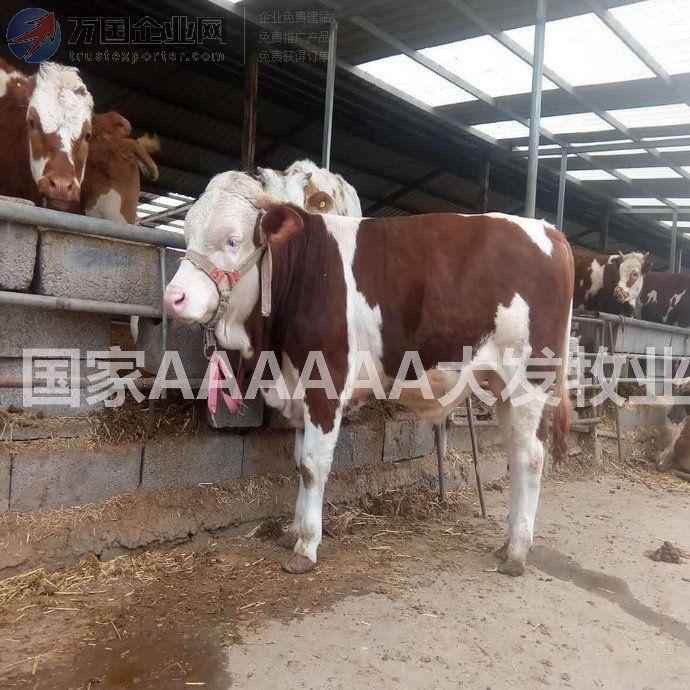 鲁西黄牛养殖场出售黄牛牛犊 母,公