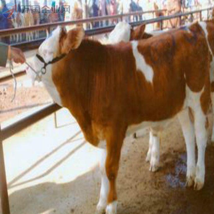 供应肉牛养殖-养殖业-奶牛养殖-肉牛价格-养牛技 肉牛犊